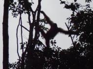 Orangutan at Semmenggoh Nature Reserve, Sarawak