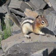 Chipmunk at Lake Louise, Canada