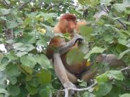 Prosbocis Monkey, Sarawak, Borneo