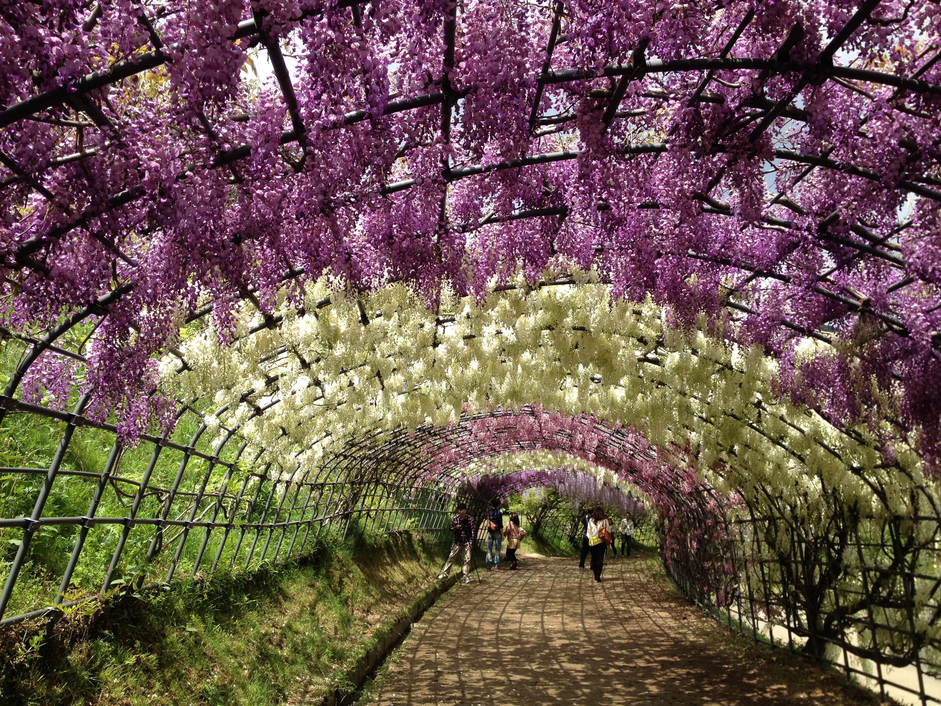 Wisteria Tunnel In Japan Globetrotting Supernova
