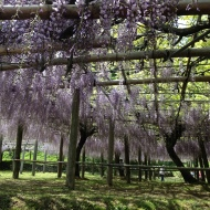 Wisteria Tunnel, Japan