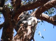"""My"" Koala, Hanson Bay Wildlife Sanctuary, Kangaroo Island"