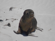 Sea-lion Pup, Seal Bay, Kangaroo Island