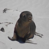 Sea-lion Pup, Seal Bay, Kangaroo Island