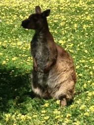Shy Kangaroo, Kangaroo Island