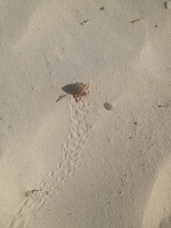 Tiny Hermit Crab, Tulum Beach, Mexico